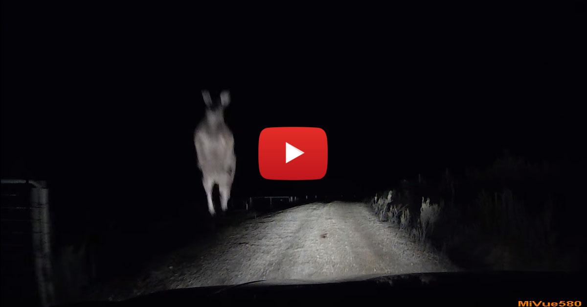 Rabid Kangaroo Destroys Car After Being Startled
