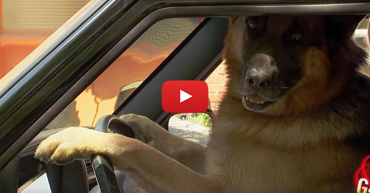 smart-dog-drives-smart-car