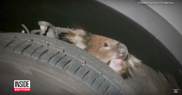A koala survived a 10 mile ride inches away from certain death