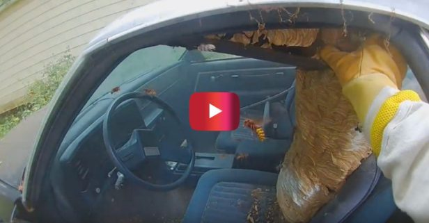 "Ohio Hero Named ""Bee Man"" Saves El Camino From Hornet Nest"