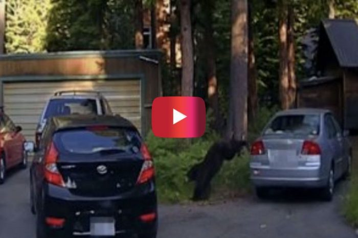 When a Bear Got Trapped in a Car, California Deputies Took Matters into Their Own Hands