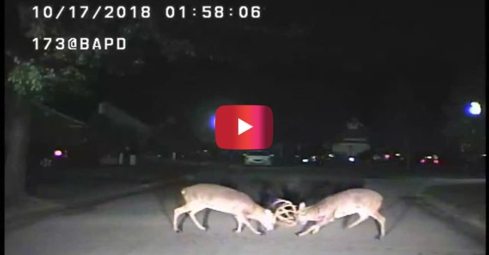 [WATCH] Intense Deer Fight Caught on Police Dash Cam