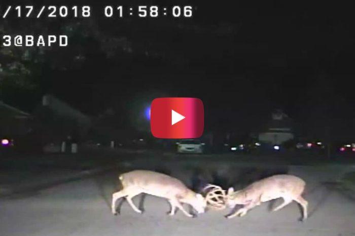 [WATCH] Intense Deer Fight Caught on Police Dash Cam