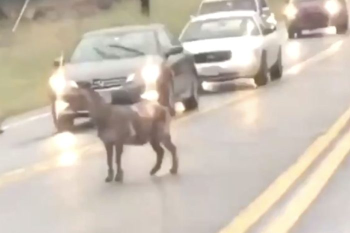 This Goat Is the Greatest of all Time When It Comes to Causing Traffic Jams