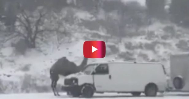This Camel That Got Stranded in a Snowstorm Is Now a Pennsylvania Celebrity