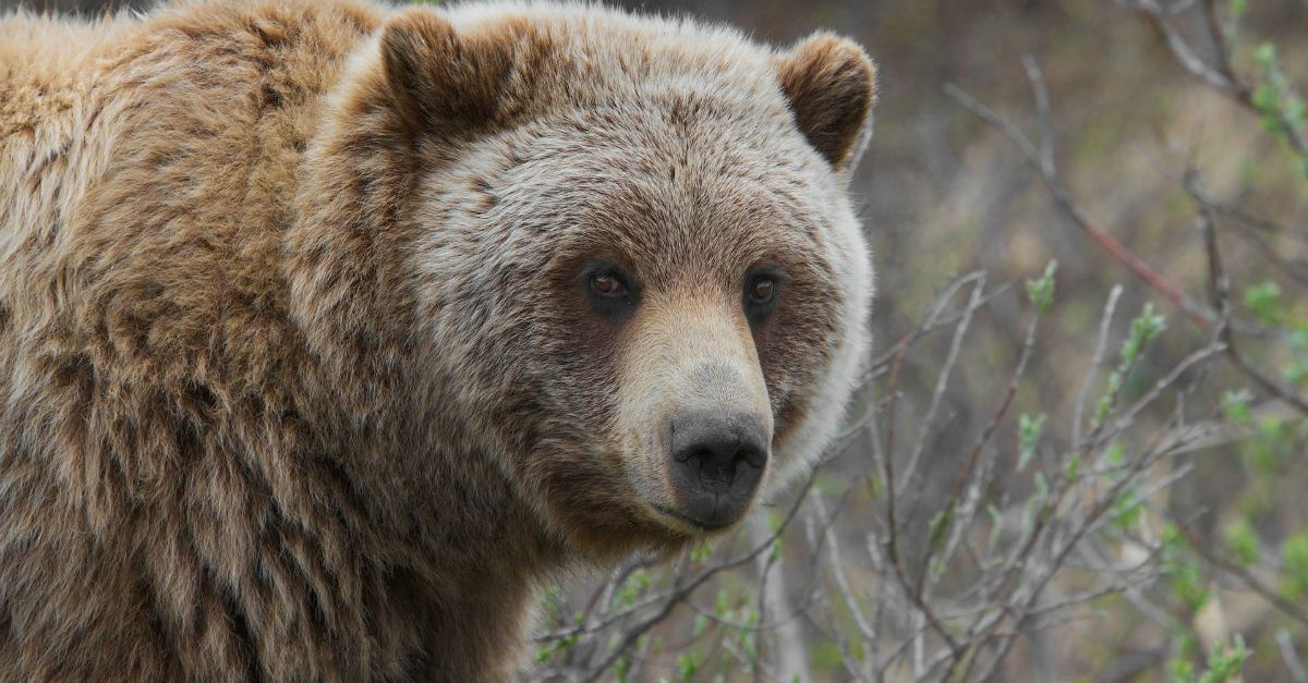 Bear Trashes a Subaru Forester for Gummy Bears, Leaves Behind a Nasty Surprise