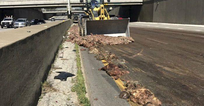 Big Rig Causes Big Problem After Spilling Pig Guts on Highway