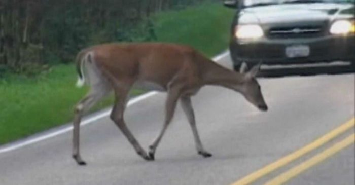 73-Year-Old SUV Driver Killed After Airborne Deer Smashes Through Windshield