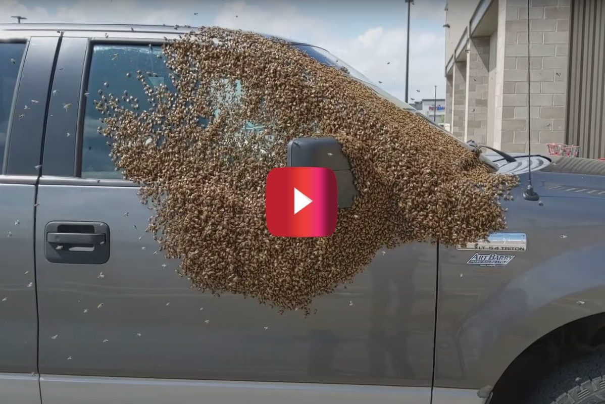 pickup truck covered in bees