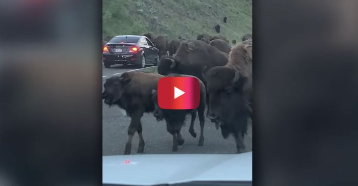 Crazy Video Shows Charging Bison Smash Car Window