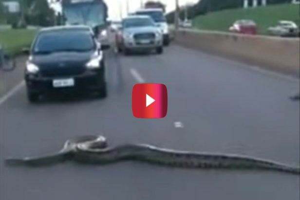 10-Foot-Long Anaconda Creates Wild Roadblock During Daily Commute