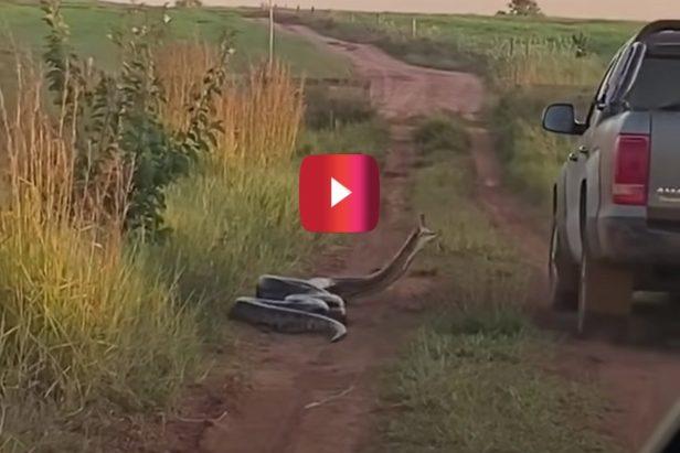 Riled-Up Anaconda Attacks Passing Pickup Truck