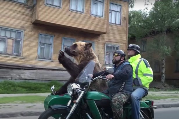 This Trained Bear Named Tim Is the Friendliest Motorcycle Passenger