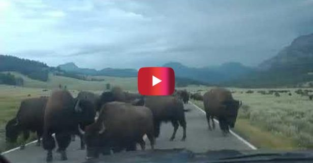 Bison Crossing Holds up Traffic at Yellowstone National Park