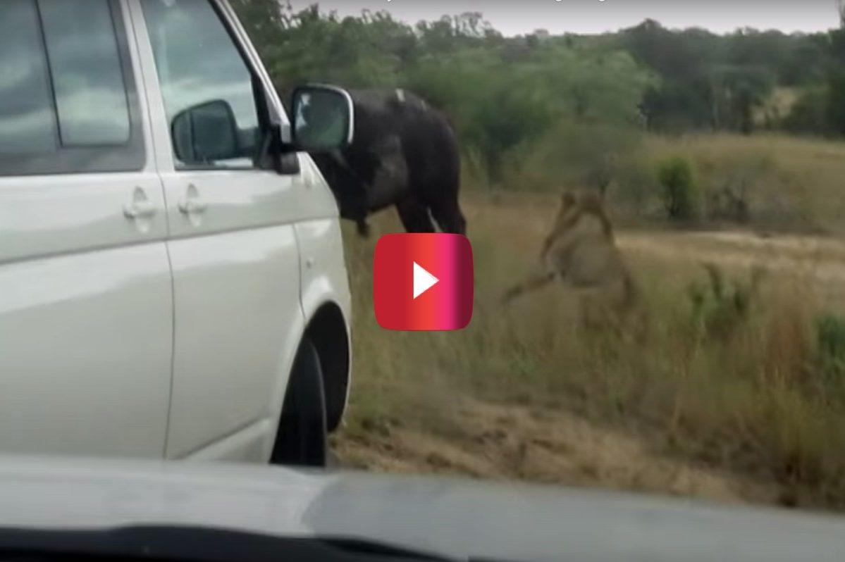 buffalo bursts car tire to escape lion attack