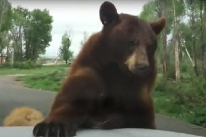 Bear Damn Near Climbs Through the Windshield of Yellowstone Tourist's Car