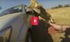 lion attacks car
