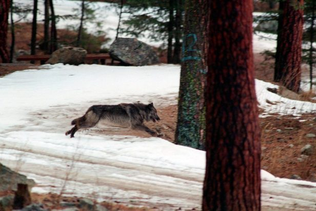 Wolves Scare Deer From Roads and Reduce Dangerous Crashes, Study Finds