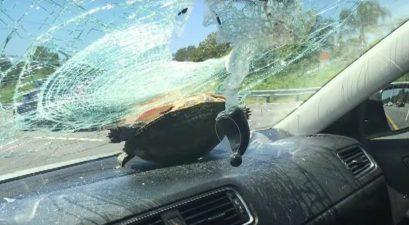 turtle crashes through car windshield